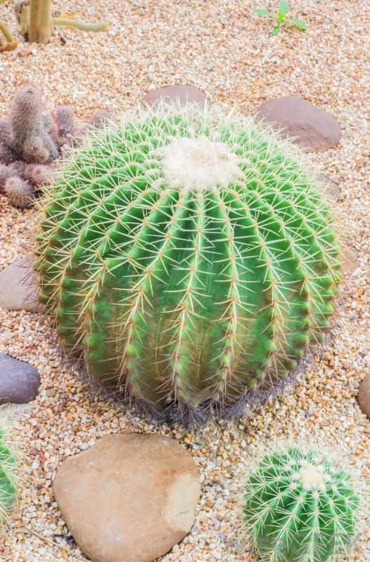 There are many types of cacti, including the barrel cactus, the mistletoe cactus, the bishop's hood cactus, the melon cactus, and...