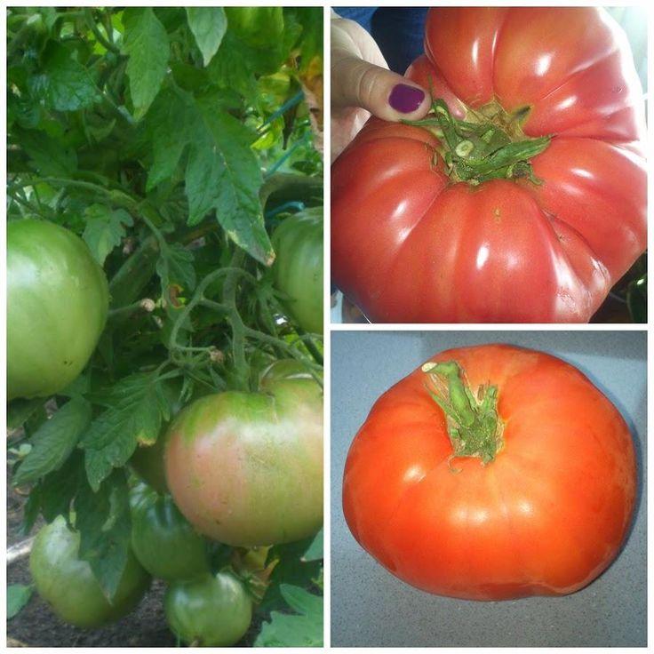 El entutorado y la poda de la tomatera