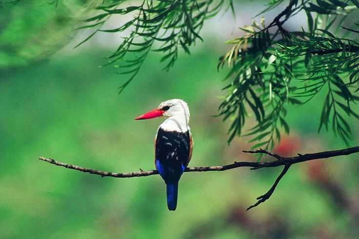 Grey headed kingfisher - photo courtesy of Cape Verde Tourism