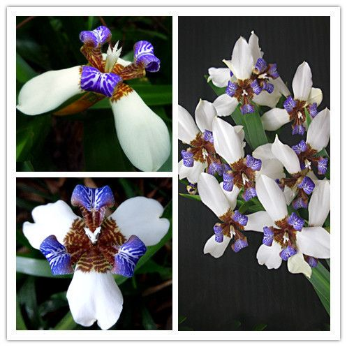 Free shipping Neomarica gracilis Flower seeds - 50PCS Walking Iris Flowers…