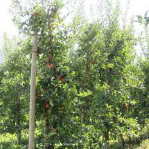 How to Choose Miniature Fruit Trees for More Fruit in Less Space