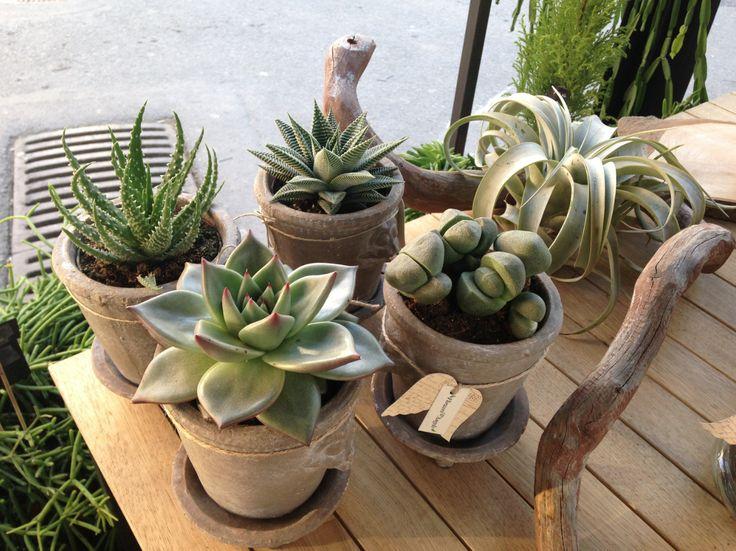 succulent, succulents, cactus