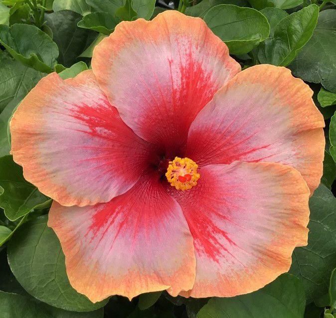 Hibiscus Quasar Hibiscus Rosa Sinensis Hybrid Hibiscus Rosa Sinensis Hibiscus Plant Hibiscus