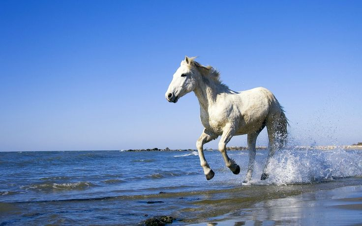 White horse running on the beach   Distractions at Work ...