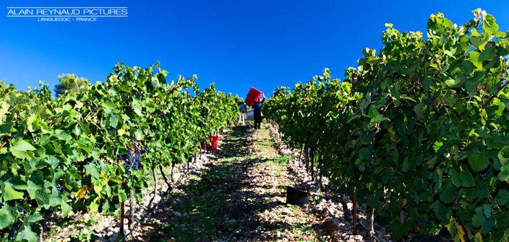 Vendanges au domaine de Castelnau - Languedoc #vendanges2013 © Alain Reynaud