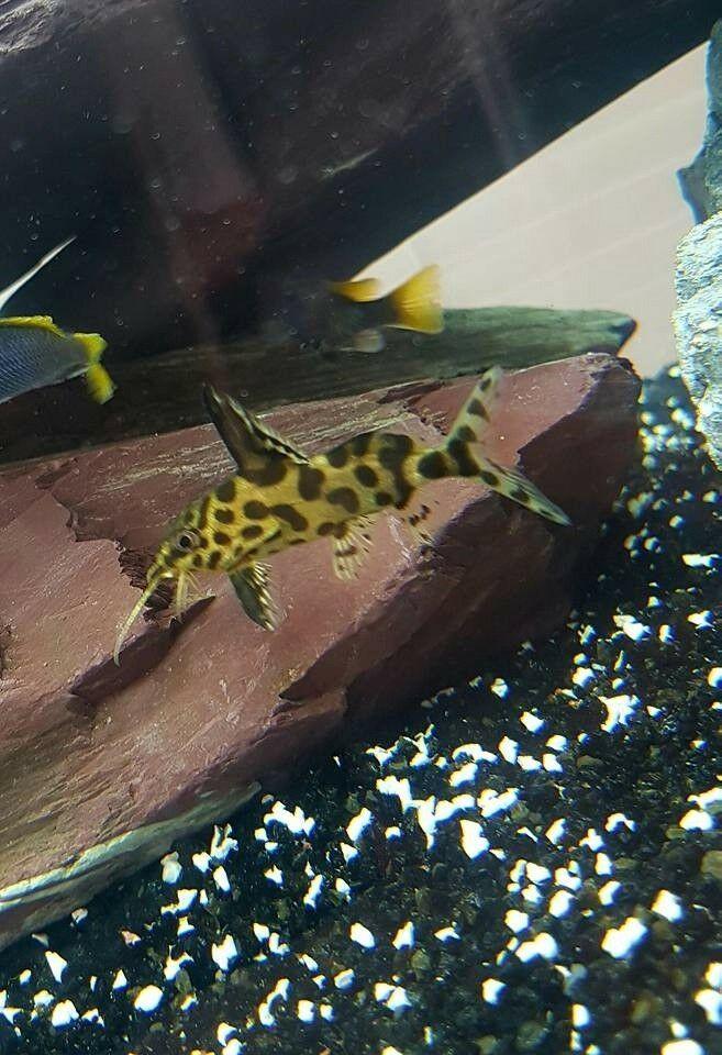 Synodontis Njassae For Sale Freshwater Catfish Catfish For Sale Catfish