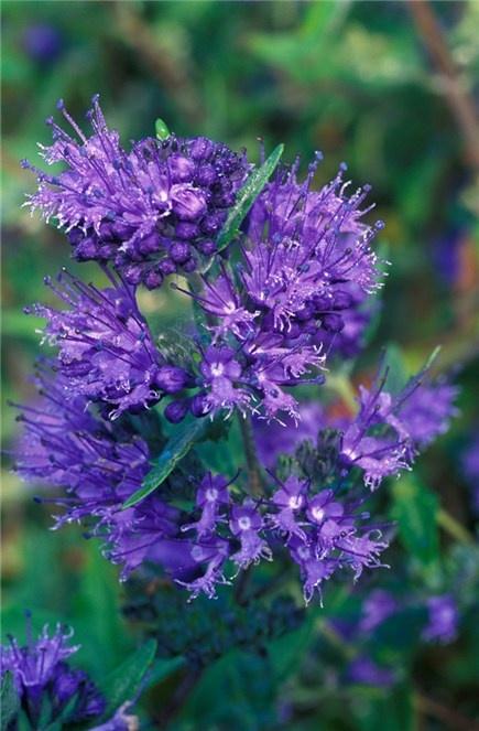 Caryopteris x clandonensis looks good at night yard for Blue flowering bush