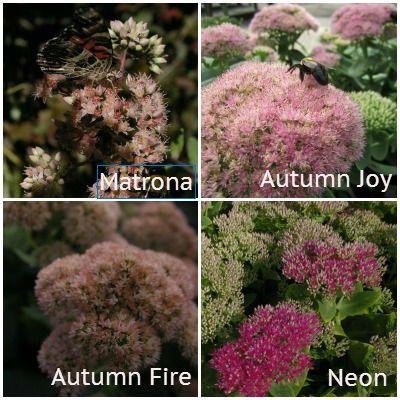 Blooming Sedum Pike Nurseries We Call It Lives Forever Plant