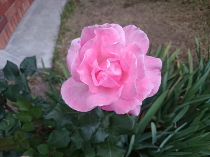#Rose #Flower #Flor