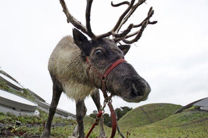 ¿Por qué Rodolfo, el reno, tiene la nariz roja?
