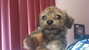 $250 comes with first shot chiot chihuahua x caniche superbe - Laval / North Shore Dogs & Puppies For Sale - Kijiji Laval / North Shore Canada.