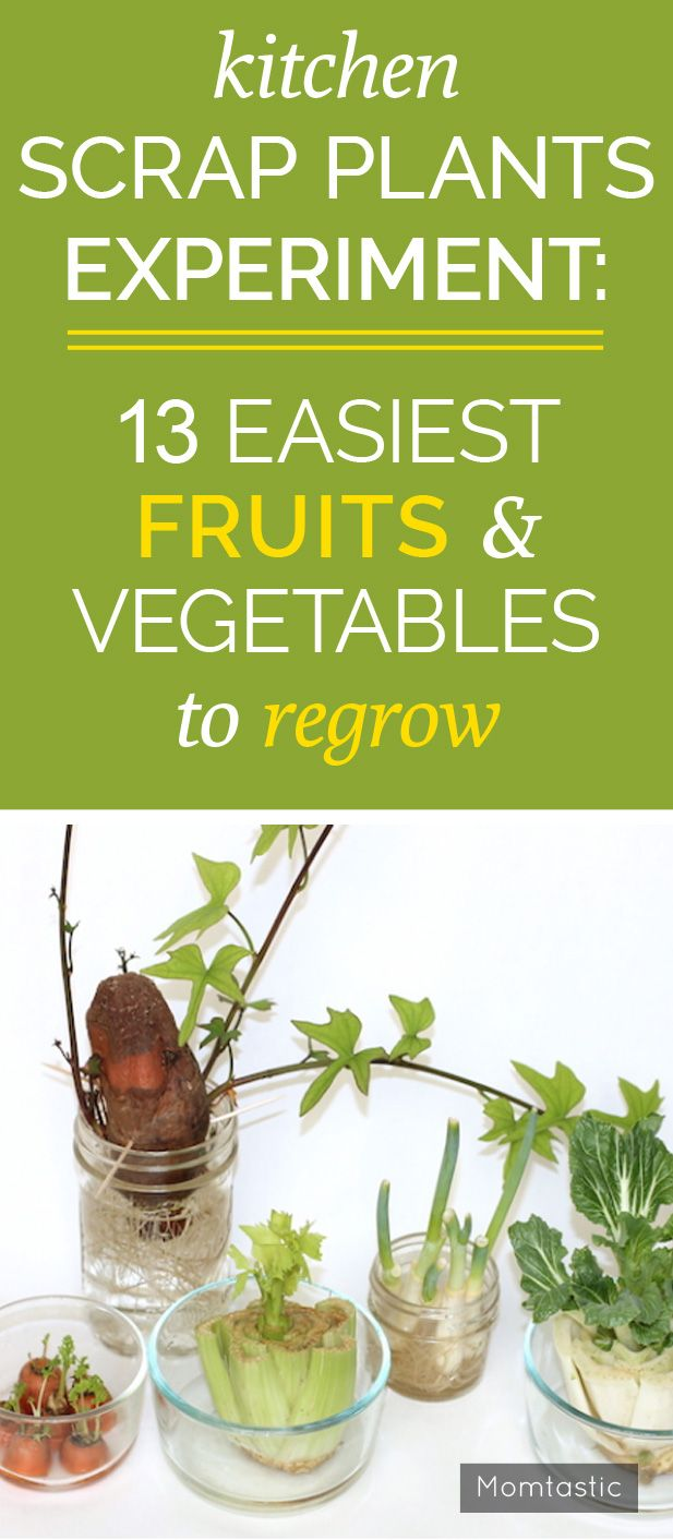 Kitchen Scrap Plants Experiment: 13 Easiest Fruits & Vegetables to Regrow - I first heard about kitchen scrap gardening through my best friend. She told me about how she just chops off the bottom of her celery and places the stub in a small bowl of water, and within a few weeks new stalks begin to grow. After some research, I found that there are many varieties of veggies that you can do this with. So I thought Kai and I should conduct an experiment to see what grew best. I recommend using…