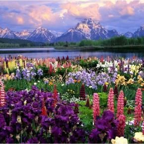 Natures garden in the mountains.  Lupine are wild and  bloom in the valleys of the Western/Northern Rocky Mountains.: Wild Flower, Fields Of Flower, Flower Pictures, Wildflower, Flower Gardens, National Parks, Flower Fields, Place, Beauty Flower