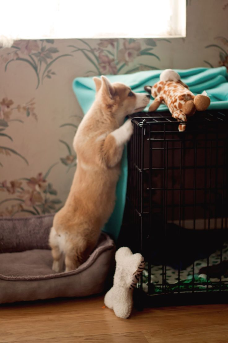 Pembroke Welsh Corgi puppy <3                                                                                                                                                                                 More