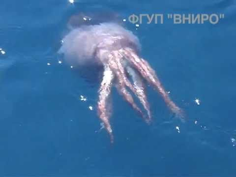 """[VIDEO] """"The colossal squid, sometimes called the Antarctic or giant cranch squid, is believed to be the largest squid species in terms of mass. It is the only known member of the genus Mesonychoteuthis."""""""