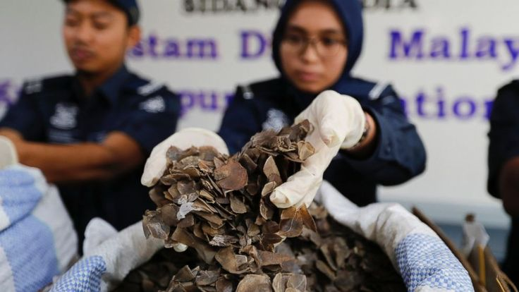 Malaysian customs officials said Friday they have seized nearly 400 kilograms (880 pounds) of pangolin scales worth 5 million ringgit ($1.2 million) from Ghana. The seizure brings the total amount of confiscated pangolin scales to 1.4 tons in two months. Kuala Lumpur airport customs...