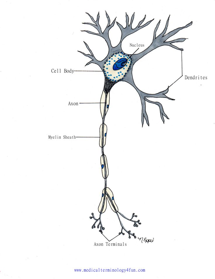 146 best anatomy neurons images on pinterest nerve cells neuron the nervous system ccuart Gallery
