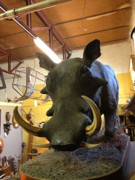 """African Taxidermy Wart Hog Whole Mount   $960 Firm   52"""" Across  Dinostaur at White Elephant Antiques Warehouse  1026 N. Riverfront Blvd. Dallas, TX 75027  Booth 0026  Open: Mon. to Sat. 10A to 5P Sun. 1P to 5P  Read more: http://dallas.ebayclassifieds.com/home-decor/dallas/african-taxidermy-wart-hog-whole-mount/?ad=27843702#ixzz2Sx62Xc8q"""