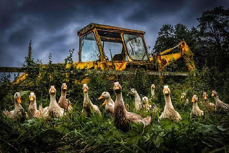 Peeking Ducks  by Tony Moore