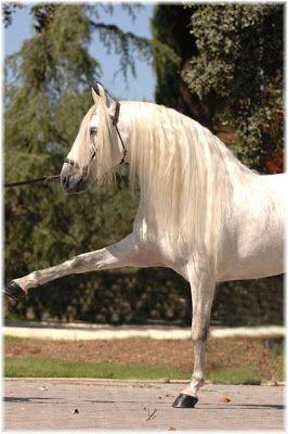 caballos pura sangre espanola
