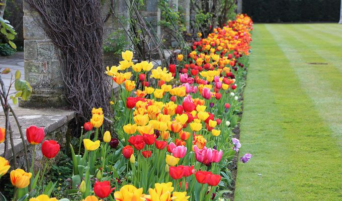 Spring Tulip Display at Hever Castle in Kent
