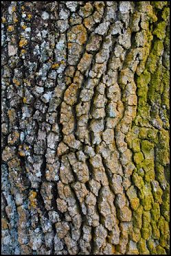 Oak tree bark detail with moss & lichen, Henry Coe State Park, Santa Clara County, California    Something for #treetuesday by +Christina Lawrie and +Shannon S. Myers