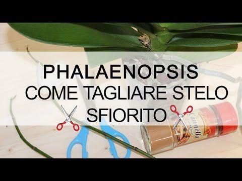 Orchidea Phalaenopsis - Come tagliare stelo sfiorito - YouTube
