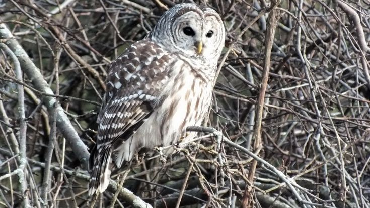 {Barred Owl} sweet almost-heart-shaped markings around face