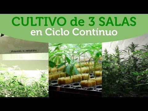 Sala de cultivo de MARIHUANA en coco: MADRES, ESQUEJES y FLORACIÓN. CICLO CONTiNUO. Al Natural 39
