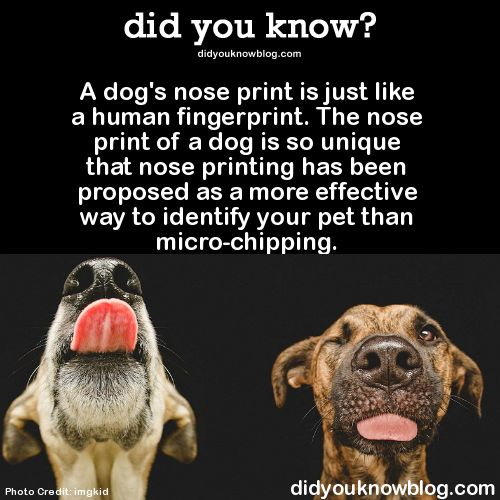 Click here for more crazy facts about dogs ►►►► A dog's nose print is just like a human fingerprint. The nose print of a dog is so unique that nose printing has been proposed as a more effective way to identify your pet than micro-chipping. Source