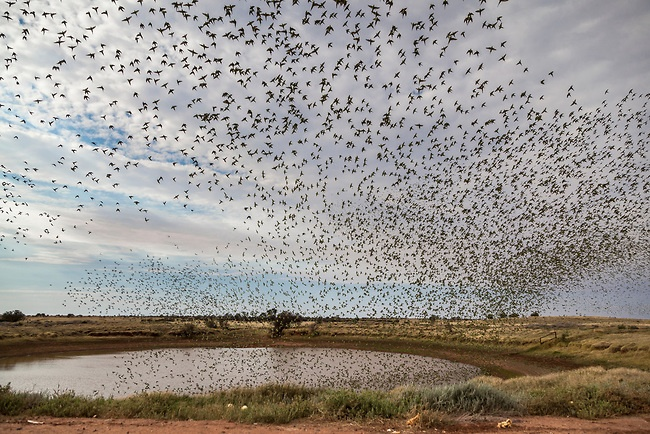 #3 of 3 ...Budgie Mania- Enormous Budgerigar Flocks of Central Australia... Watching this Mega Swarm build and then become a single giant organism is an experience I'll never forget. Last week we had 2 days rain. There is not a single Budgie at this location now. 51 IMAGES IN ALL. SEE HERE- http://petercarroll.photoshelter.com/gallery/Budgie-Mania-Enormous-Budgerigar-Flocks-of-Central-Australia/G0000td2nzO2pjxM