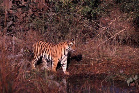 SCIENCE BEATS: Genetic ancestry of tigers explored