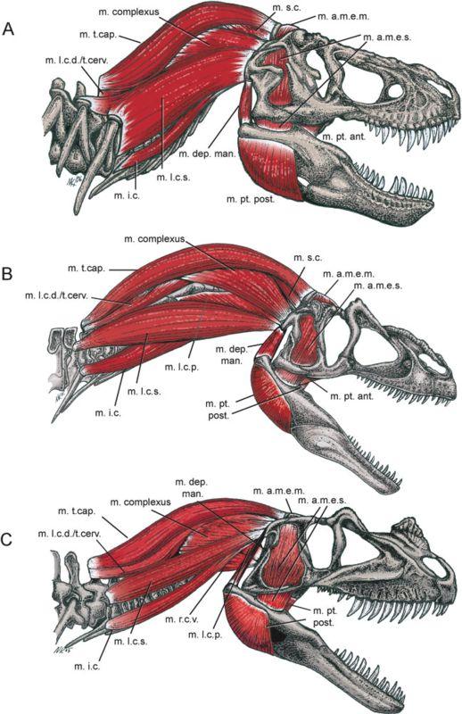 dinosaur skull anatomy - Google Search