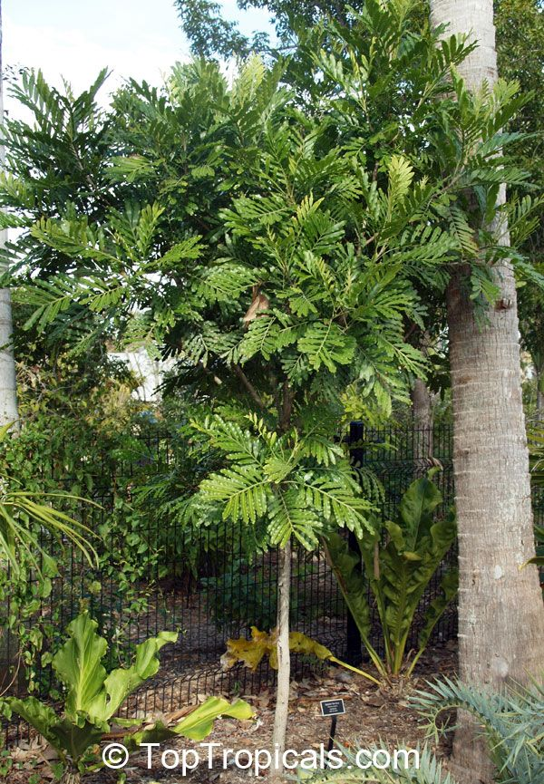 A young Japanese Fern Tree (Filicium decipiens) growing next to a tall palm tree (more info about this beautiful tree is on another pin).