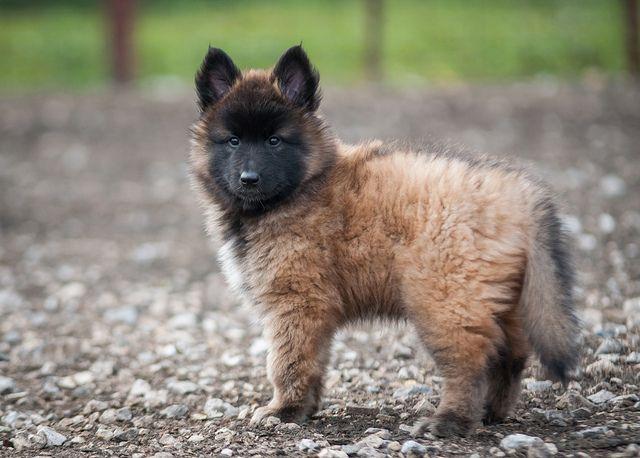 #Tervuren Belgian Shepherd Sheepdog #Dogs #Puppy