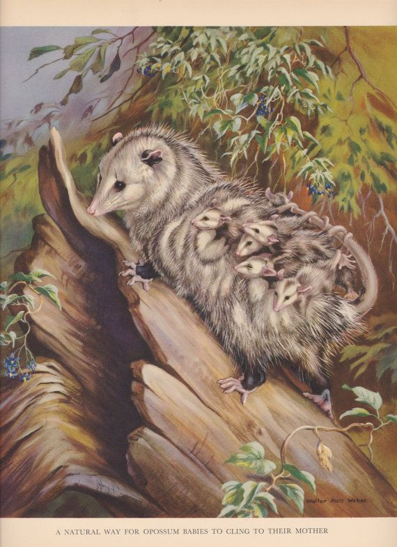 Opossum Babies Clinging To Their Mother Wild Animal