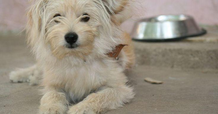 Como treinar um filhote de Lhasa Apso. Os lhasa apsos, originalmente criados como guardas de monges tibetanos, são hoje considerados cães de colo por muitos amantes dos caninos. Classificado como um cão de brinquedo, pelo Clube Americano de Canis, os lhasa apso têm uma longa e densa pelagem, e são frequentemente preparados para shows caninos. Apesar de parecerem dóceis e fofos, os ...