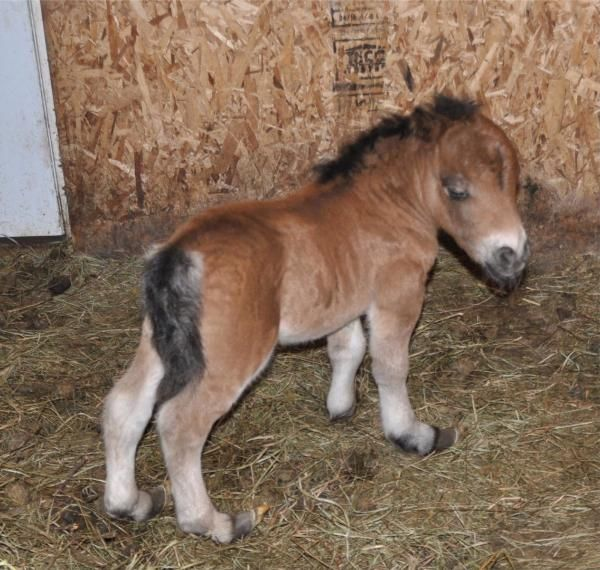 Dwarf Miniature Horses for Adoption | Dwarfism in Miniatures - Lil Beginnings Miniature Horse ...