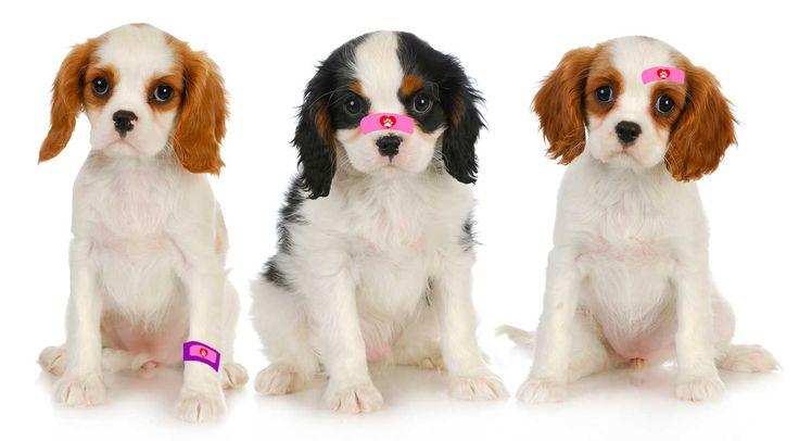 cavalier king charles spaniel boo boo puppies