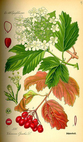 Viburnum opulus - Калина обыкновенная