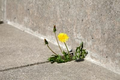 Your nemesis, the weed, is at it again -- growing where it is not wanted, even between the cracks of your sidewalk where nothing but a weed could manage to grow. Weeds have deep roots and are often difficult to remove or kill completely. If you want to avoid pesticides and go organic, head for your pantry. An inexpensive, everyday ingredient may be all you need. Use a little bit of baking soda, and voila, the weeds are sent to their final resting place. Test the baking soda method with one…