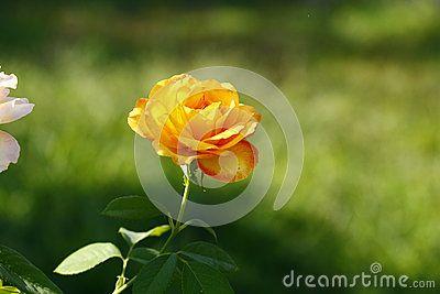 Yellow rose in the yard