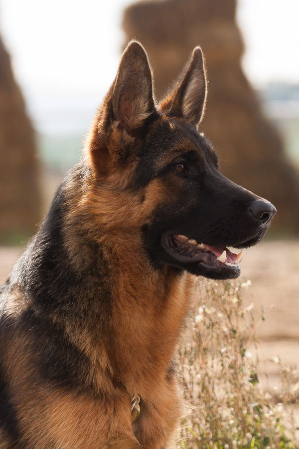 German Shepherd by Bosanski kinološki savez Dogs