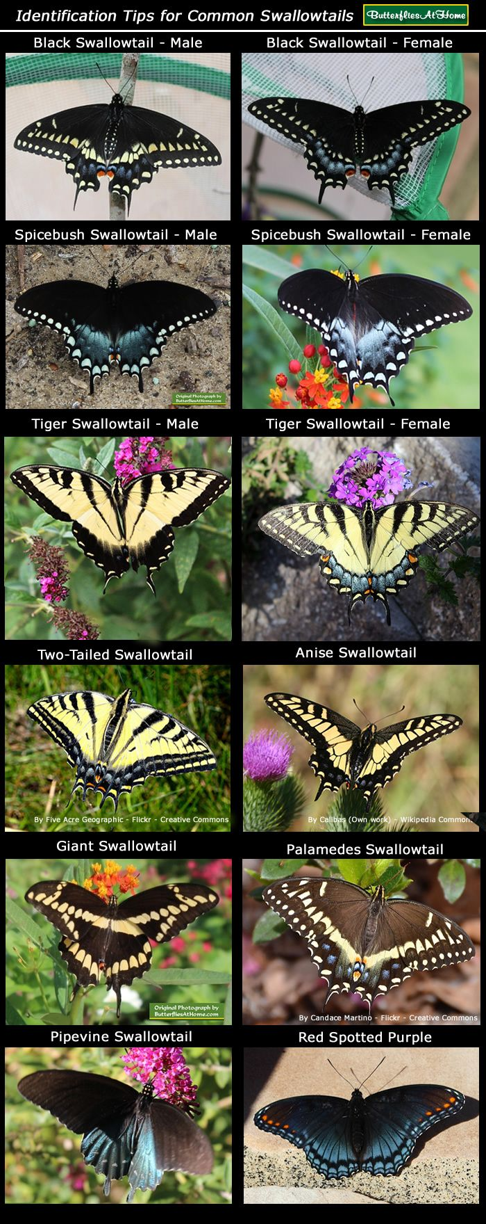 Swallowtail butterfly identification chart
