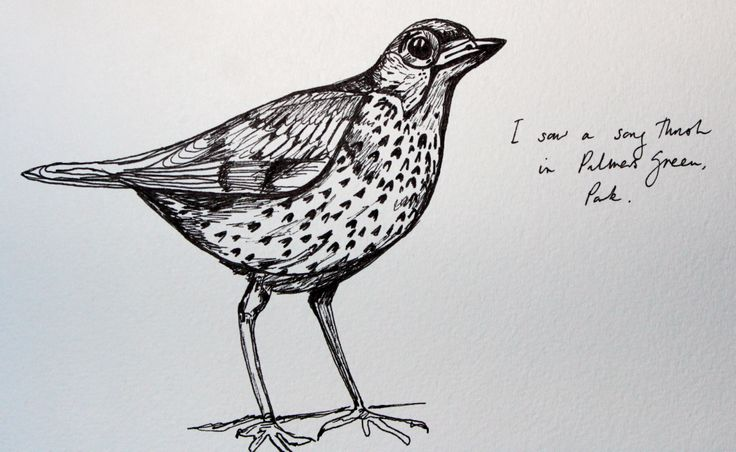 A quick drawing of a song thrush by Helen Wells