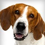American Foxhound : Dog Breed Selector : Animal Planet
