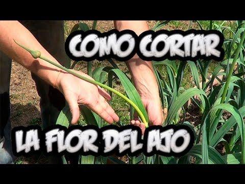 Cuidados Del Ajo : Cortar La Flor Del Ajo    La Huertina De Toni - YouTube