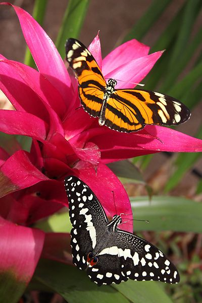 Tiger and Lime Swallowtail Butterflies