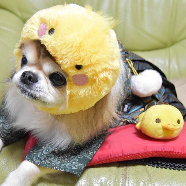 Good morning 🐶😊今年もお世話になりました🐶来年もよろしくお願いします🤗💕皆様にとって良い年で有りますように💖 ヒヨコで  今年もありがとうございました dog