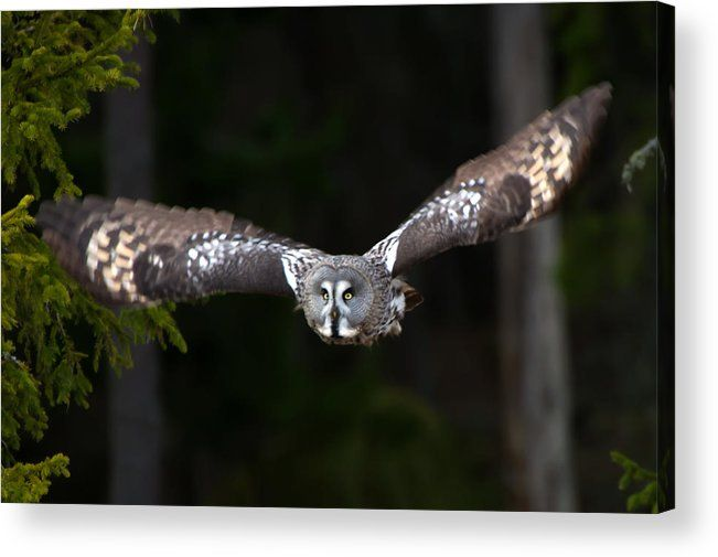 Focus On The Target  The Great Grey Owl (Strix nebulosa) focus on the target, a vole. In Uppland, Sweden by Torbjorn Swenelius